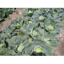 2013 fresh cabbage