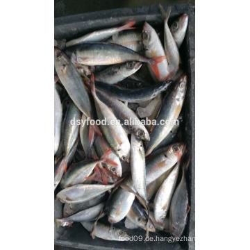 Liefern gefrorene rote schwanz horese mackerel