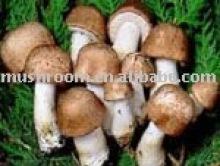 Mandelpilz extrakt (Agaricus blazei murrill)
