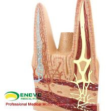VISCERA17 (12556) Menschliches anatomisches Modell von kleinen Darmzotten