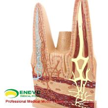 VISCERA17(12556) анатомической моделью человека мелких Ворсинках кишечника