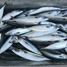 Замороженная тихоокеанская скумбрия саба 150 200 г 6080 шт Рыба