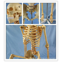 170cm Modelo de plástico anatômico de esqueleto humano