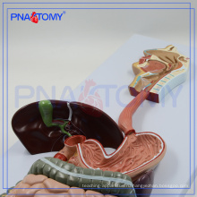 ПНТ-0450 модель пищеварительной системы человека анатомические модели органов пищеварения