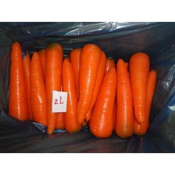 carotte de frais légume frais destinés à l'exportation
