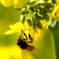 Chinese high quality rape Honey