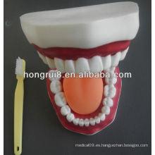 Nuevo modelo de cuidado médico dental modelo, modelo de enseñanza de los dientes