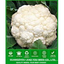 NCF38 Qisi hybride graines de chou-fleur Guangzhou