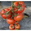 RT21B Chuan indeterminado f1 semente de tomate híbrido de alto rendimento