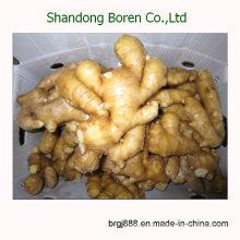 2015 Chinesischer heißer Verkaufs-frischer gelber Ingwer