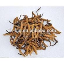 Extracto Cordceps Sinensis de Cordyceps cordisceps chino salvaje