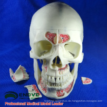 DENTAL10 (12569) Human Medical Anatomische Erwachsene Osteopathische Schädelmodelle 10-teilig