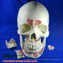 DENTAL10 (12569) Modèles de crâne ostéopathique adulte médical anatomique humain en 10 parties