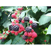 Individual Quick Freezing Organic Blackberry Zl-0051