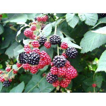 Individual de congelación rápida orgánica Blackberry Zl-0051
