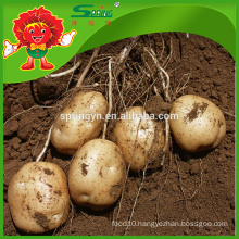 cheap fresh yellow potatoes factory
