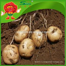 Недорогая картофельная фабрика поставляет свежий картофель-красно-коричневый