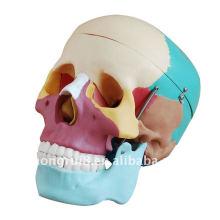 ISO farbiges Schädelmodell, lebensgroßer erwachsener Schädel in den Farben