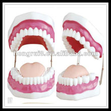 Modelo de cuidados dentários ISO (28 dentes), modelo de dentes HR-403