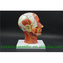 Modelo de cerebro de color de venta directa de fábrica para uso médico