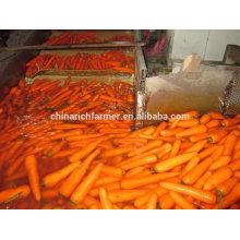 2016 Ernte Chinesische Karotte