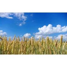 Pesticida herbicida seletivo Rustler
