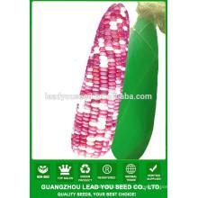 CO03 Ganxin mélange couleur f1 hybride champ graines de maïs waxy à vendre