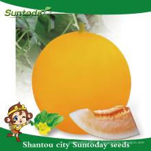 Suntoday agricultura casca amarela laranja-vermelho carne vegetal hs co hami conhecido-você vegetal híbrido F1 melão sementes japonesas (11019)