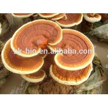 Extracto orgánico de hongos Lingzhi