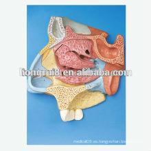 VENTAS CALIENTES Sección sagital mediana de la cavidad nasal sección sagital modelo humano nasal