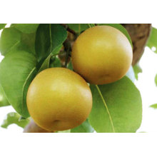 Good Quality Grade a China Fengshui Pear