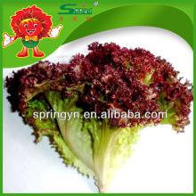 [Oferta Especial] 2015 folha vermelha alface iceberg decorativos