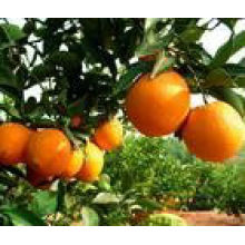 Naranja fresco y de alta calidad