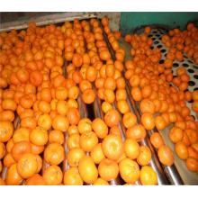 2017 new crop oranges export to Bangladesh