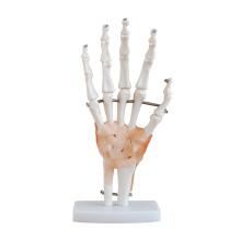 Modèle anatomique articulaire à ligament avec taille naturelle