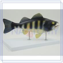 Modelo profissional da anatomia dos peixes PNT-0829 personalizado
