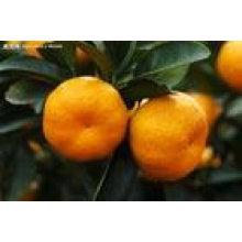 Chine à bas prix, la mandarine orange