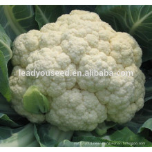 MCF37 Baixue resistant cold f1 hybrid cauliflower seeds for planting