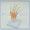PNT-0209 human hand bone joint model