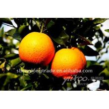 Süß und saftig frische Orange