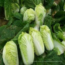 питательные овощи Китайская капуста зеленая капуста