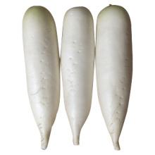 2014 Novo Crop para venda Radish branco fresco