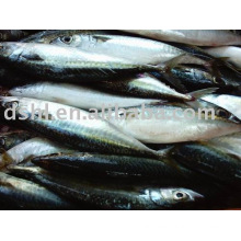 Frozen Pacific Mackerel,