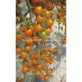 TY02 Huangjiaren forma oval híbrido semillas de tomate cherry amarillo f1