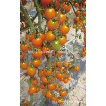 TY02 Huangjiaren oval shape f1 hybrid yellow cherry tomato seeds