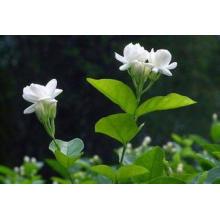 L'approvisionnement d'usine de vente chaude directement 100% d'extrait naturel de jasmin