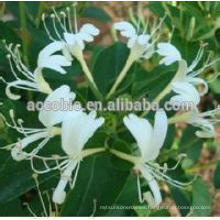 100% natural Honeysuckle / Factory supply honeysuckle flower extract, anti- cancer