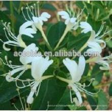 100% natural madressilva / fábrica fornecer madressilva extrato da flor, anti-câncer