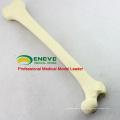 Modèle de pratique d'implant de Swabone de squelette de fémur artificiel de SIMULATION de GROS BONE 12318