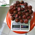 Wholesale chestnut /Horse chestnut/Chestnut from fty